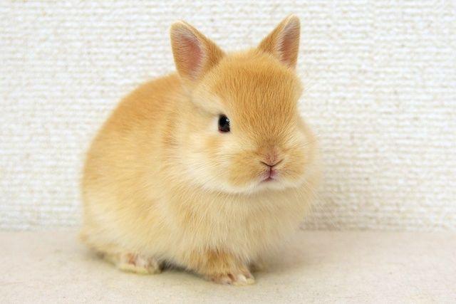 ネザーランドドワーフのドワーフ Dwarf は 姿形がとても小さい ことを表す言葉で ネザーランドドワーフは その名のとおり ペットとして飼われている 飼いうさぎ カイウサギ の中で もっとも小さいうさぎの品種 もともと活発な性格のうさぎで とても人なつこい