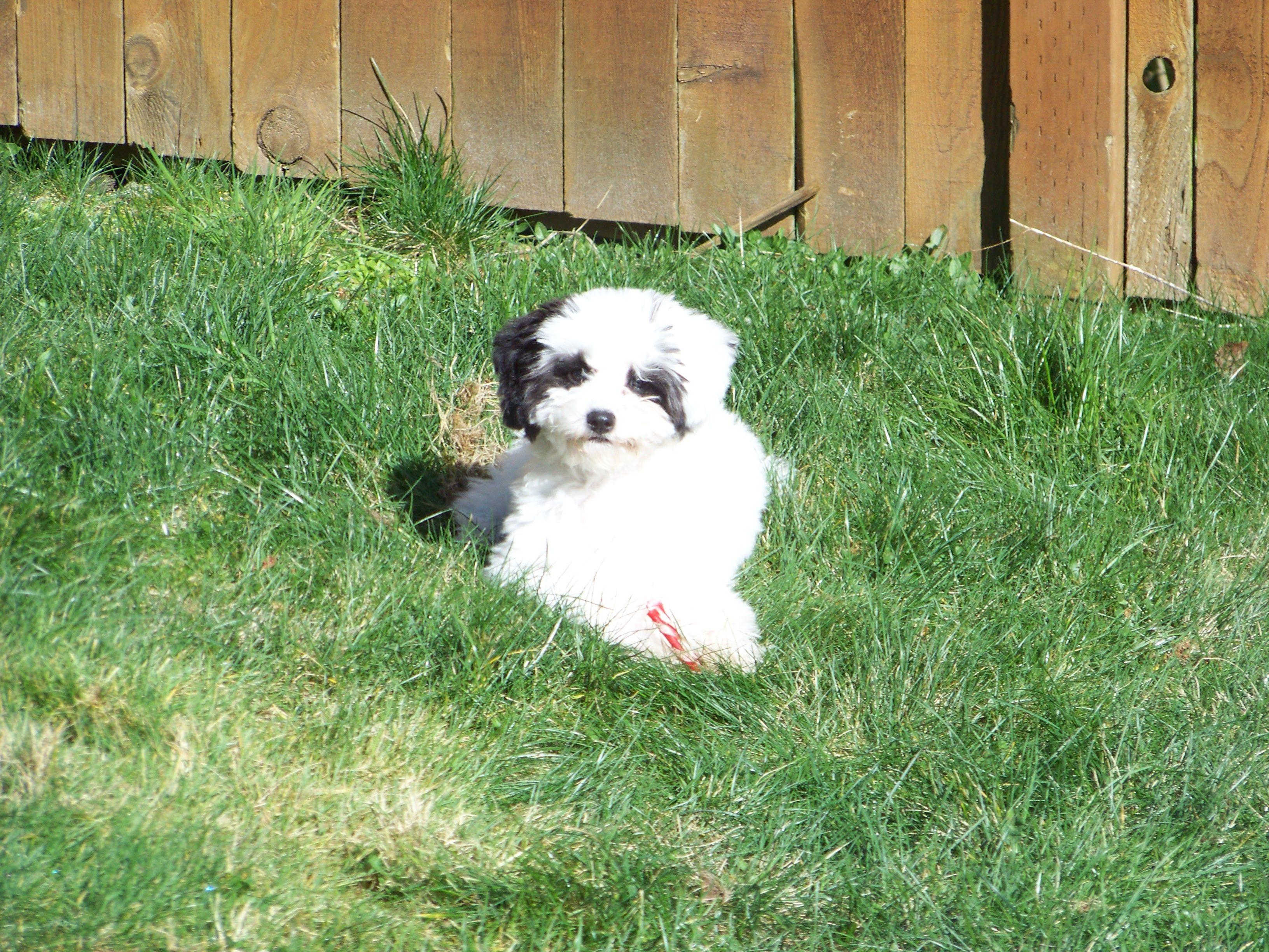 Tucker! Our Parti Poodle.