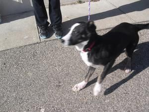 291 Is An Adoptable Border Collie Dog In Portsmouth Oh This Is A Female Possible Border Collie Husky Mix Border Collie Husky Mix Border Collie Dog Dogs