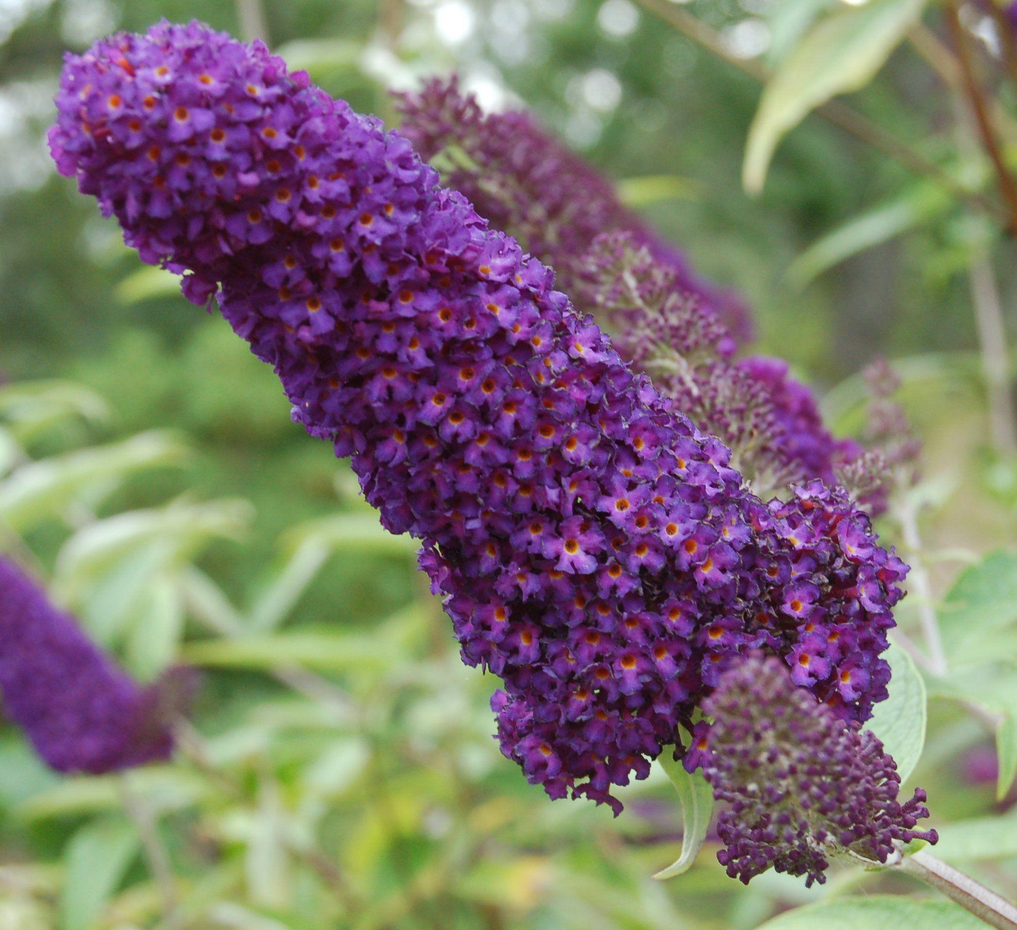 Buddleia Globosa Shrubs Plants Flowers