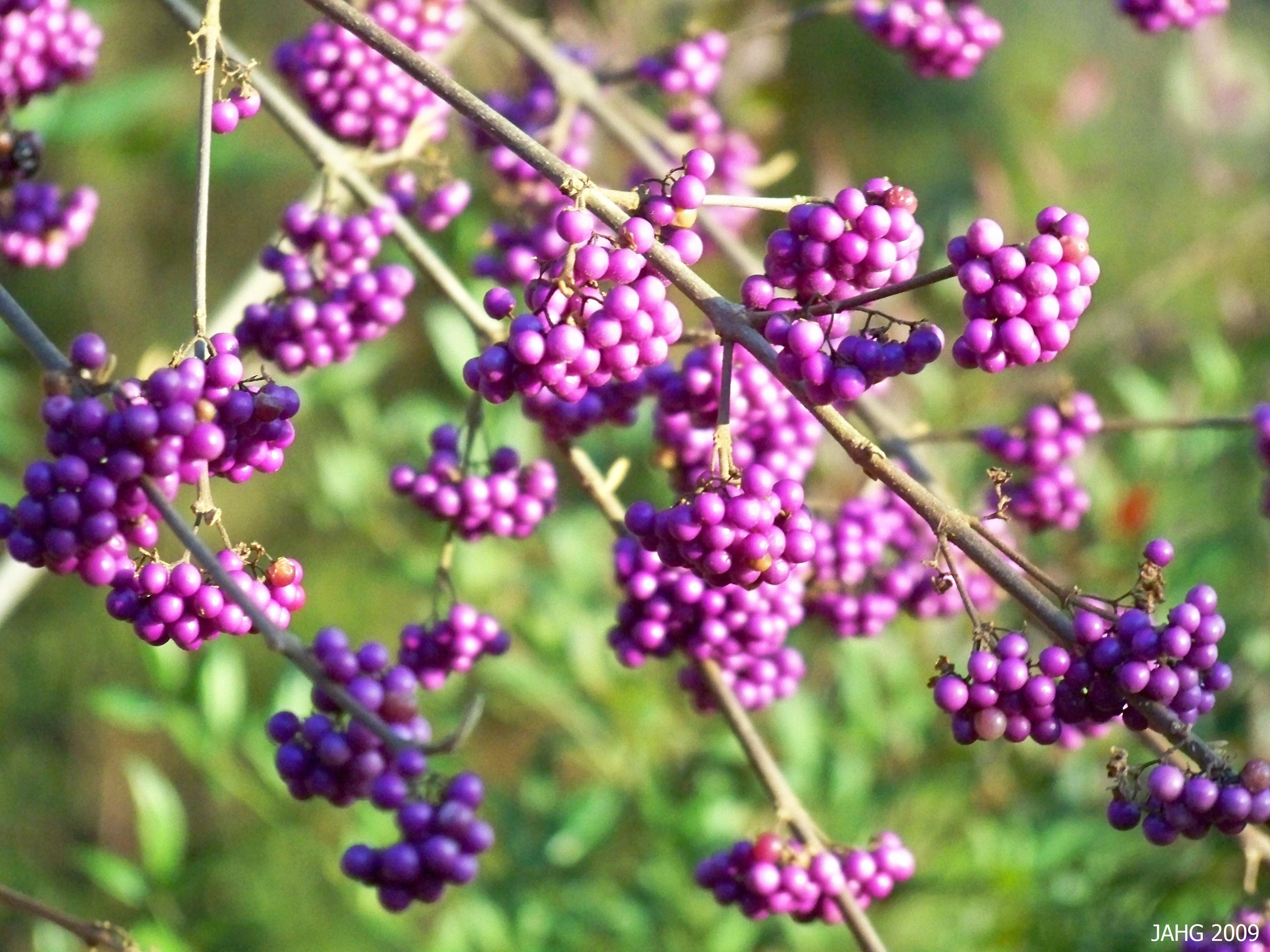 The Strong Magenta Color Of Callicarpa Bodinieri Var Giraldii Profusion Is Indeed A