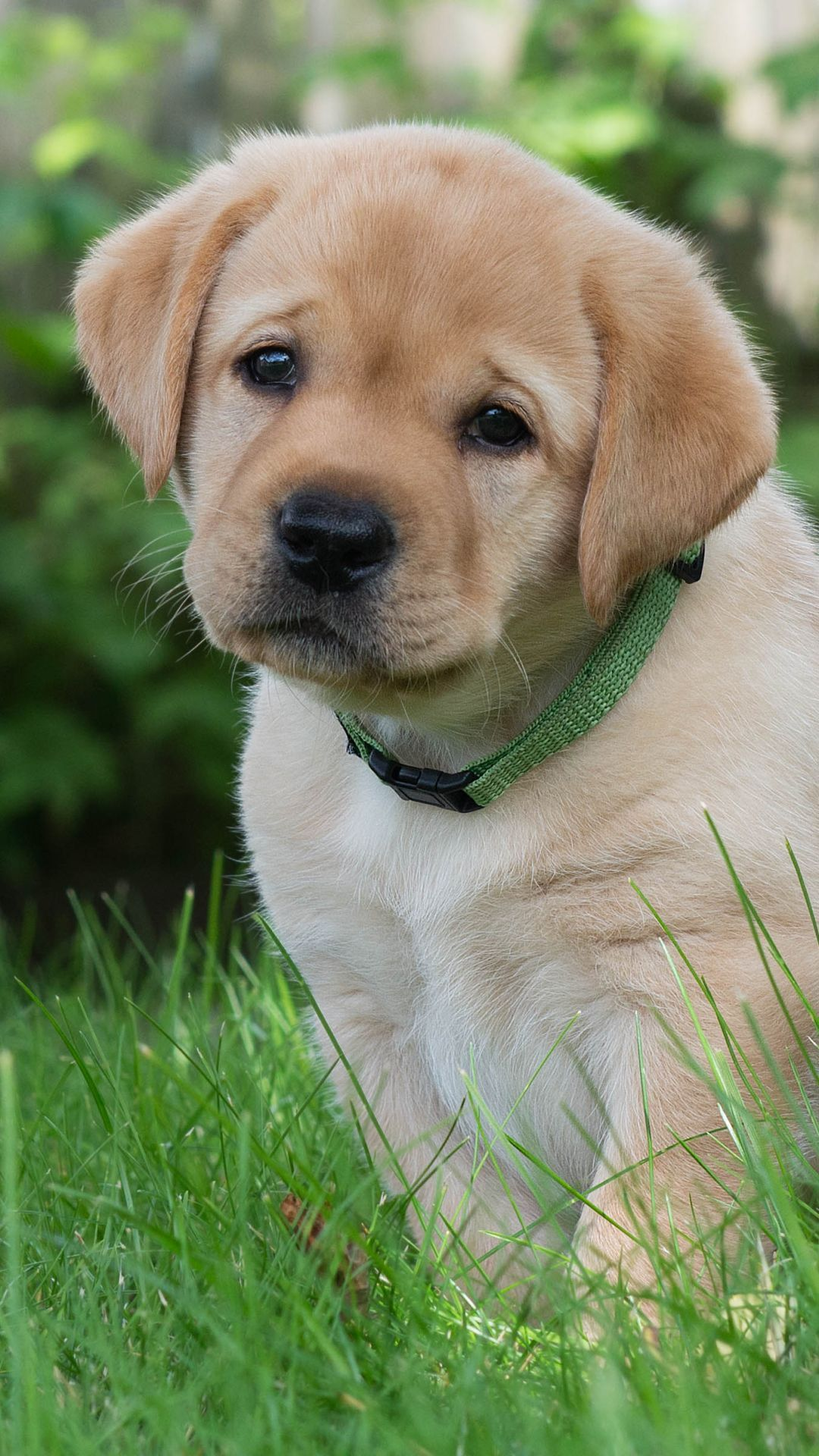 Baby Dog Wallpaper Mobile Animals Wallpapers Ideas Golden Retriever Wallpaper Dogs Golden Retriever Baby Dogs