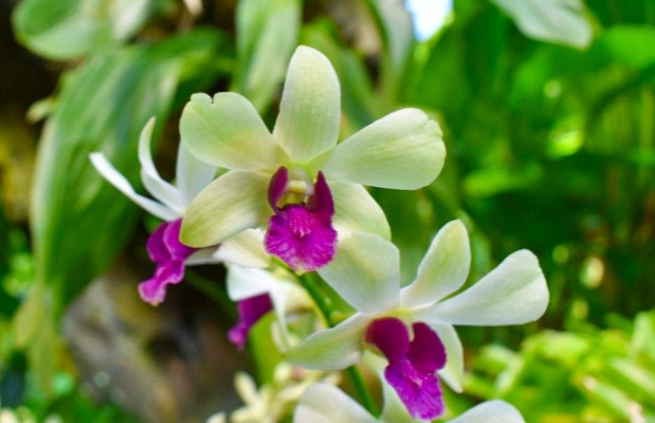 Dendrobium Orchid Flower A Famous Orchid Flower In Asia Orchid Flowers Dendrobium Floweringplant Flowergarden Nature Name Of Flowers Flower Names Orchids Planting Flowers