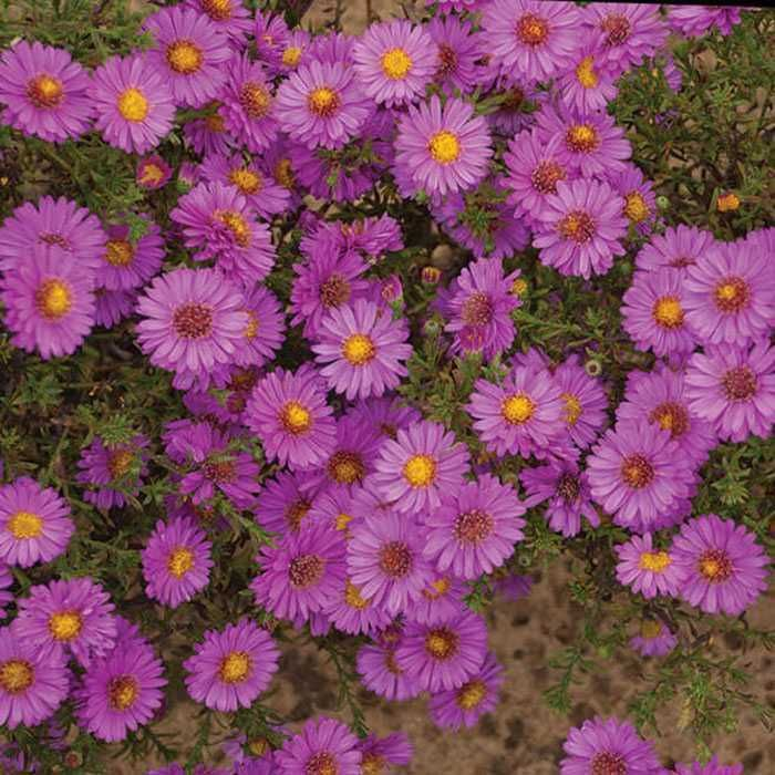 Alert Aster Violet Red Hardy Asters Flower From Mid August Until Frost On Plants That Grow 10 To 15 Inches Tal Full Sun Perennial Flowers Autumn Garden Plants