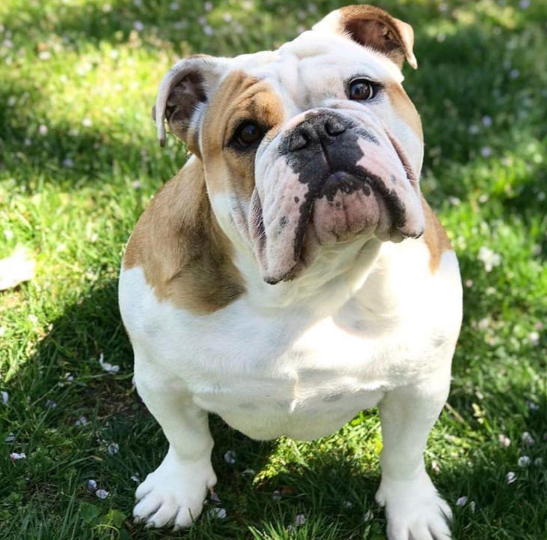 Pin By Faith Schokowitz Sparacino On Bulldog Cute Bulldogs