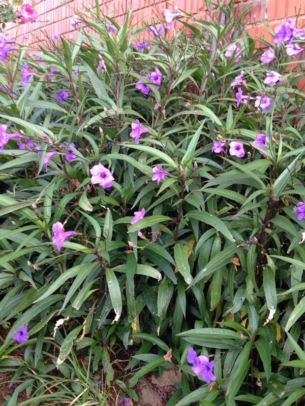 Mexican Petunia Ruellia Brittoniana Easy To Grow In Sun Or Partial Shade Will Reach A Height Of From Mounding Ground Co Petunias Ground Cover Petunia Care