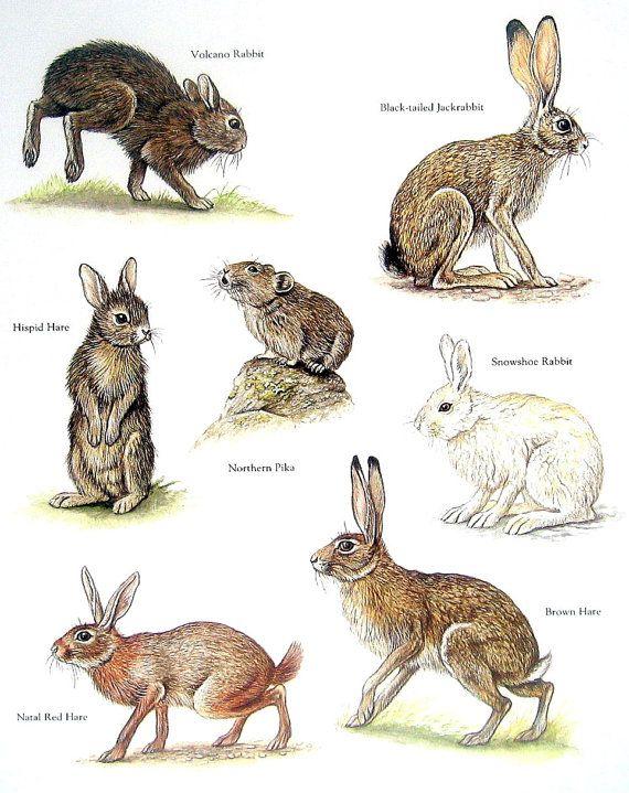 Rabbits Volcano Rabbit Northern Pika Brown By Mysunshinevintage