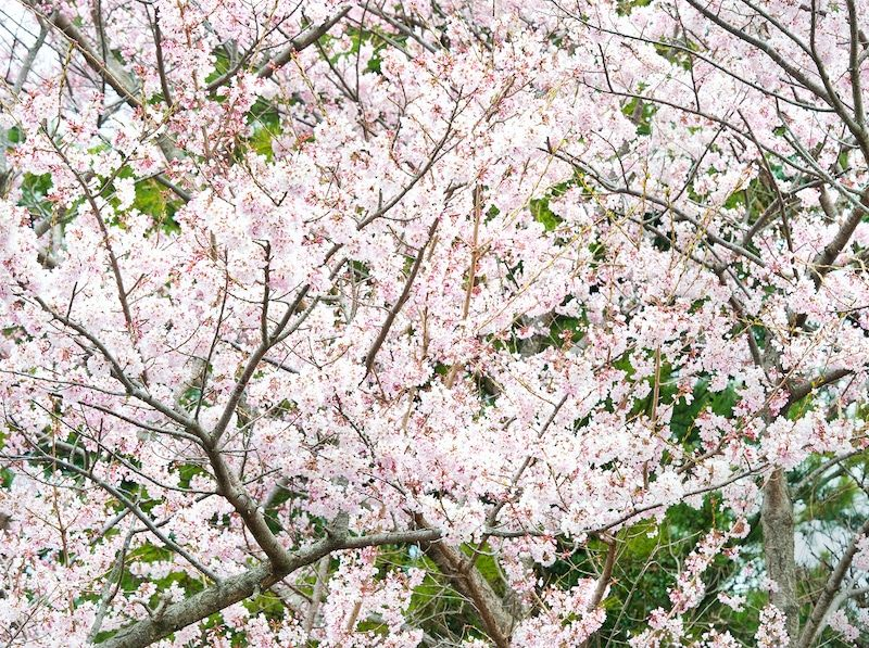 Where To See Cherry Blossoms In Korea 2019 Cherry Blossom Blossom Trees Cherry Blossom Tree