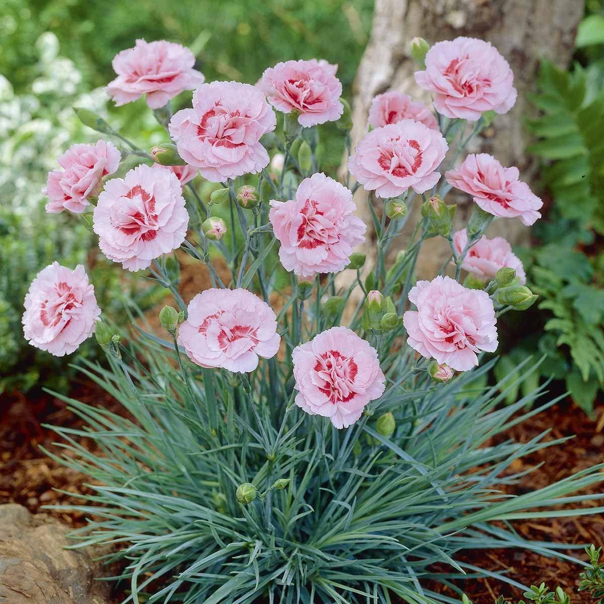 Federnelke Doris 3 Pflanzen In 2020 Pflanzen Rosa Garten Winterharte Stauden