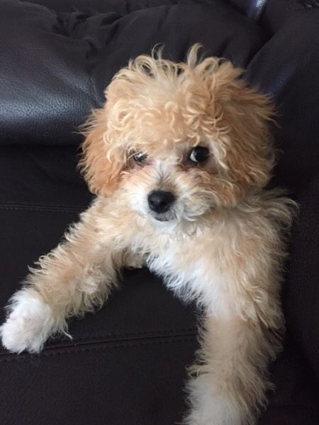 Am Salling A Poppy She Is A Mixed Toy Poodle And Shihtzu She Is