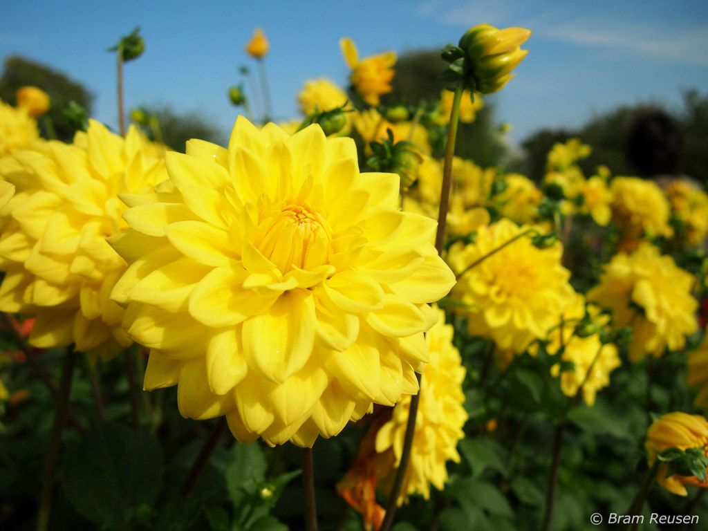 yellow dahlia | Wedding Flowers | Pinterest | Dahlia and ...