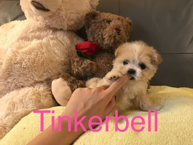 Maltipoo puppy for sale in LOS ANGELES, CA. ADN52203 on