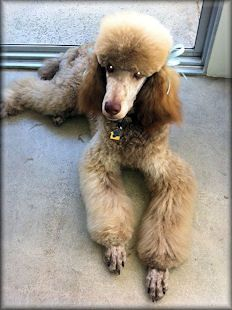 Pin By Mickie Collins On Standard Poodles Poodle Poodle Puppies