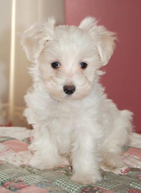 Maltipoo Look At That Face And Those Cute Cute Ears Bb With