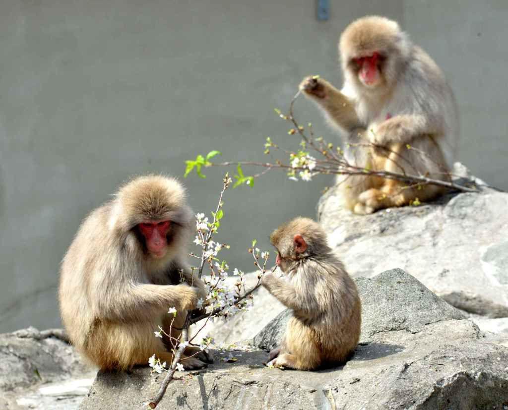 Les macaques japonais | Le Japon d'Émilie