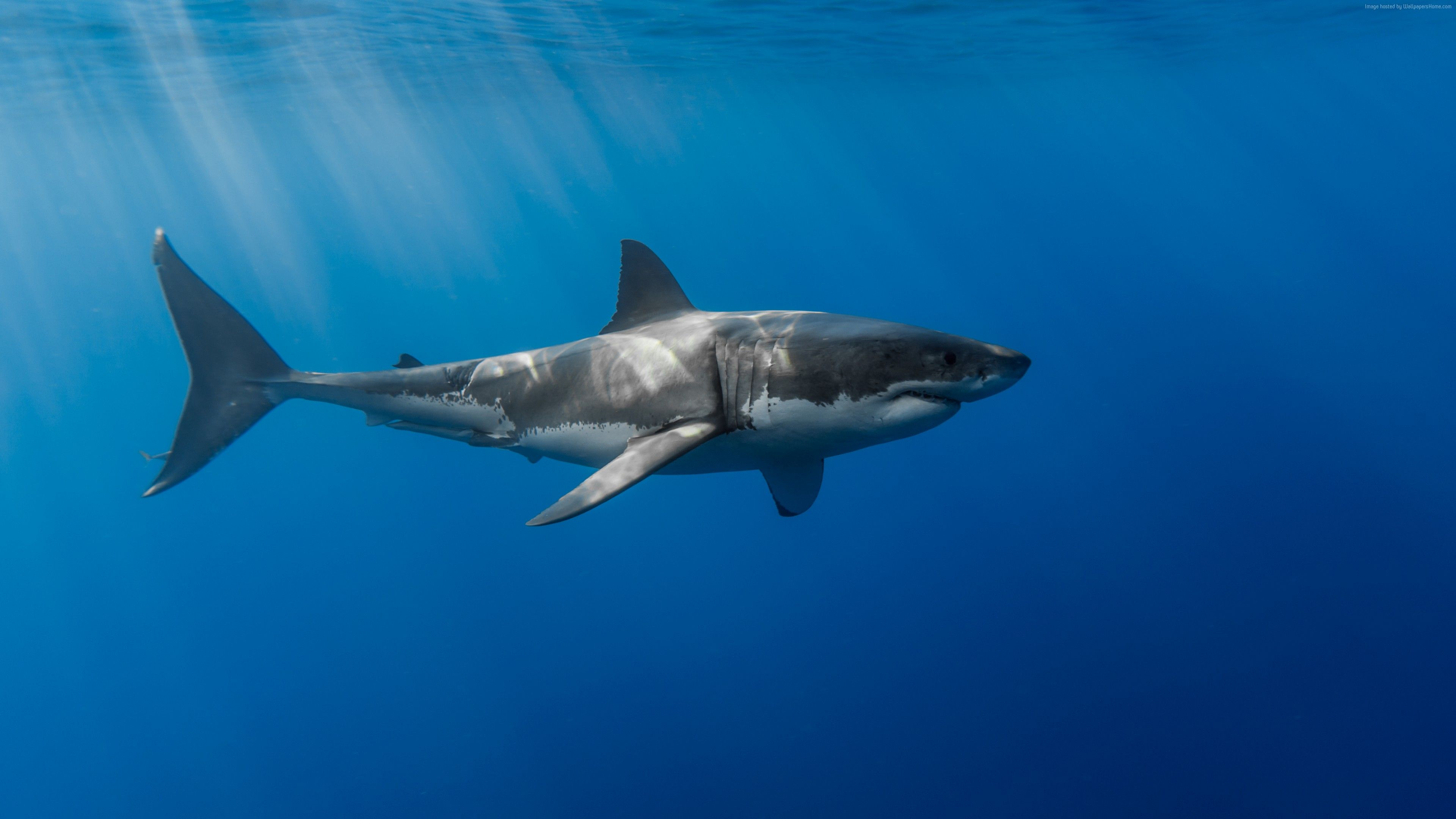 Shark Underwater 4k Great white shark, Shark, Animals