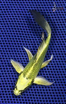 5 5 ki matsuba imported butterfly fin koi live fish for Imported koi fish