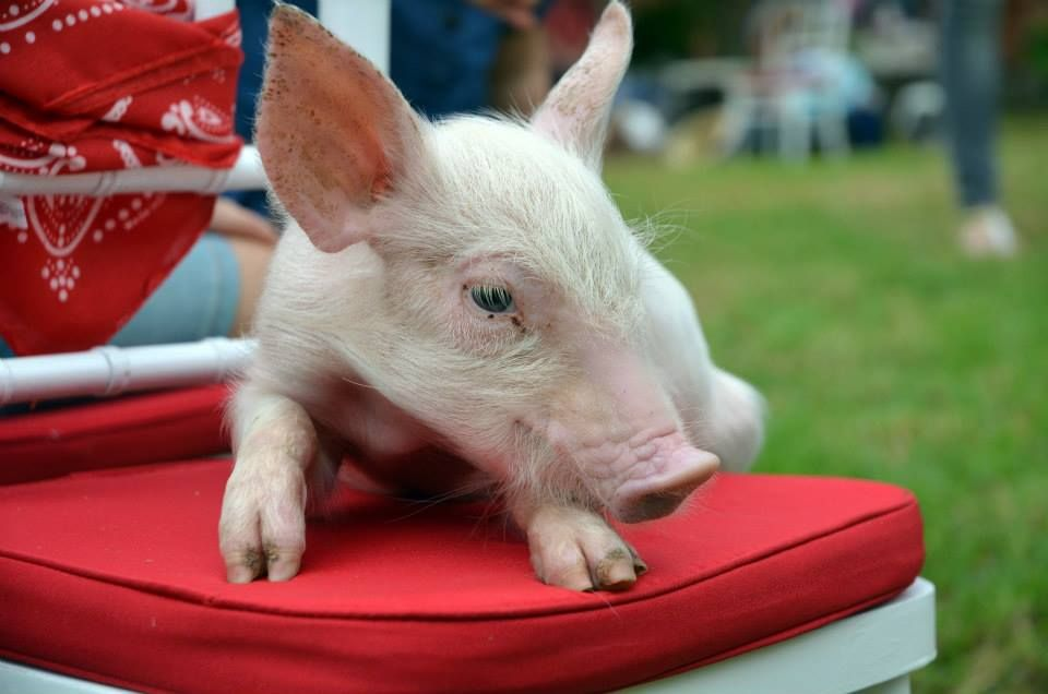 Pin by Kindifarm Mobile Animal Farm on A Peppa Pig Party