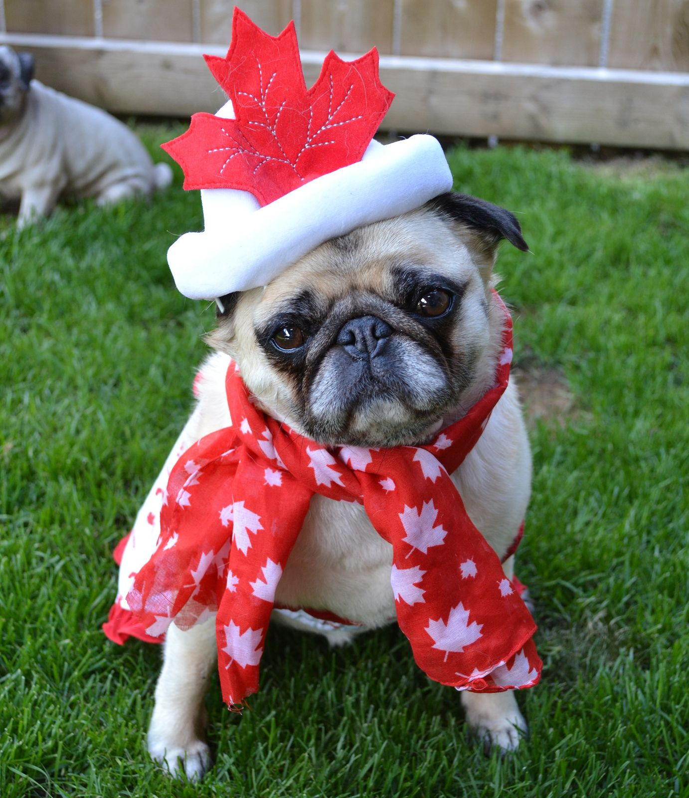 Canada Day Pug Cute Pugs Pugs Pug Photos