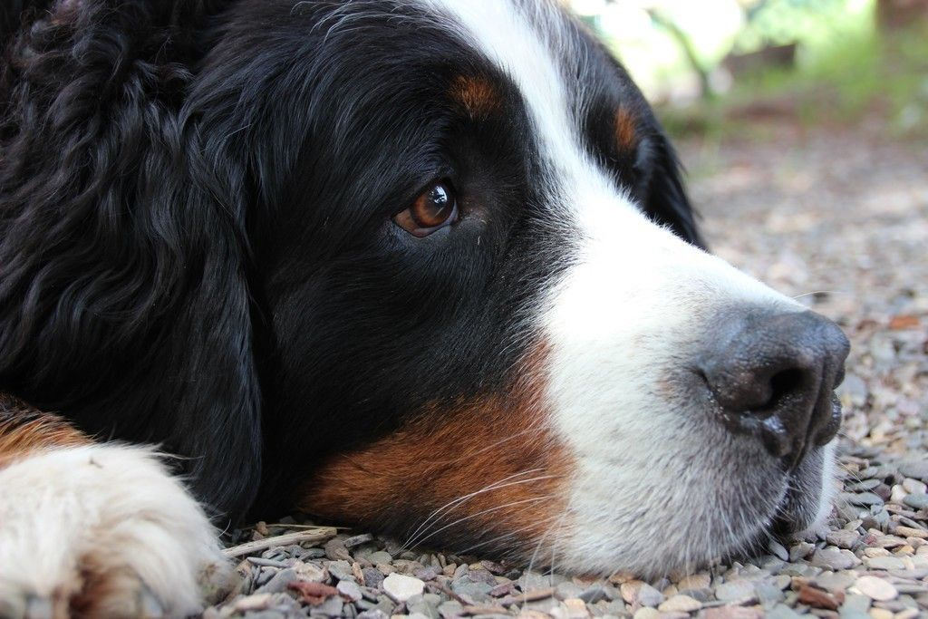 Bernese Mountain Dog Relaxed Muzzle Wallpaper Bernese Mountain Dog Dog Animation Dogs
