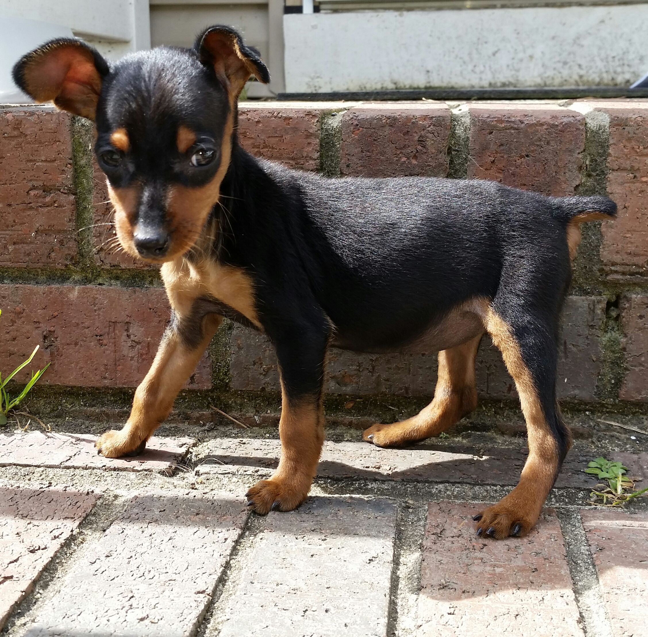 Min Pin 3 Cute Dogs And Puppies Cute Dogs Mini Doberman