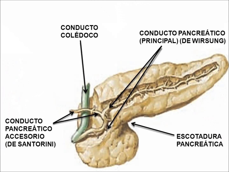 Dorable Anatomía De La Garrapata Ornamento - Anatomía de Las ...