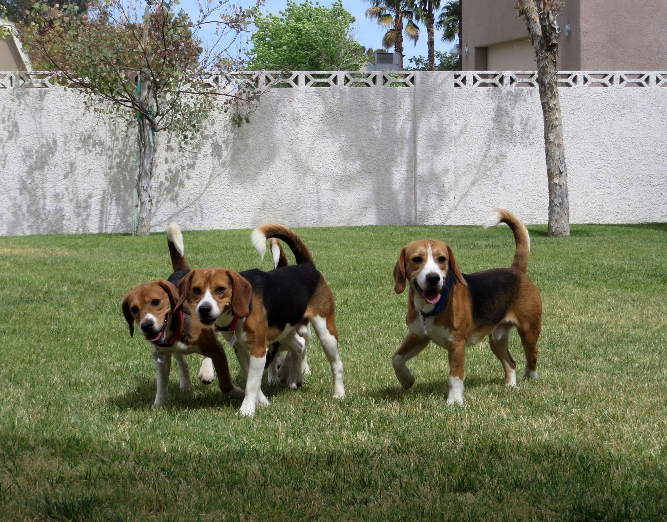 Beagles Rescued From Laboratory Experience Sunshine Grass For