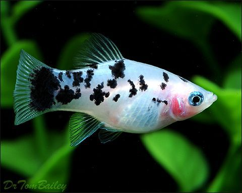 Communityfish Animals Platy Ikan Akuarium Ikan Akuarium