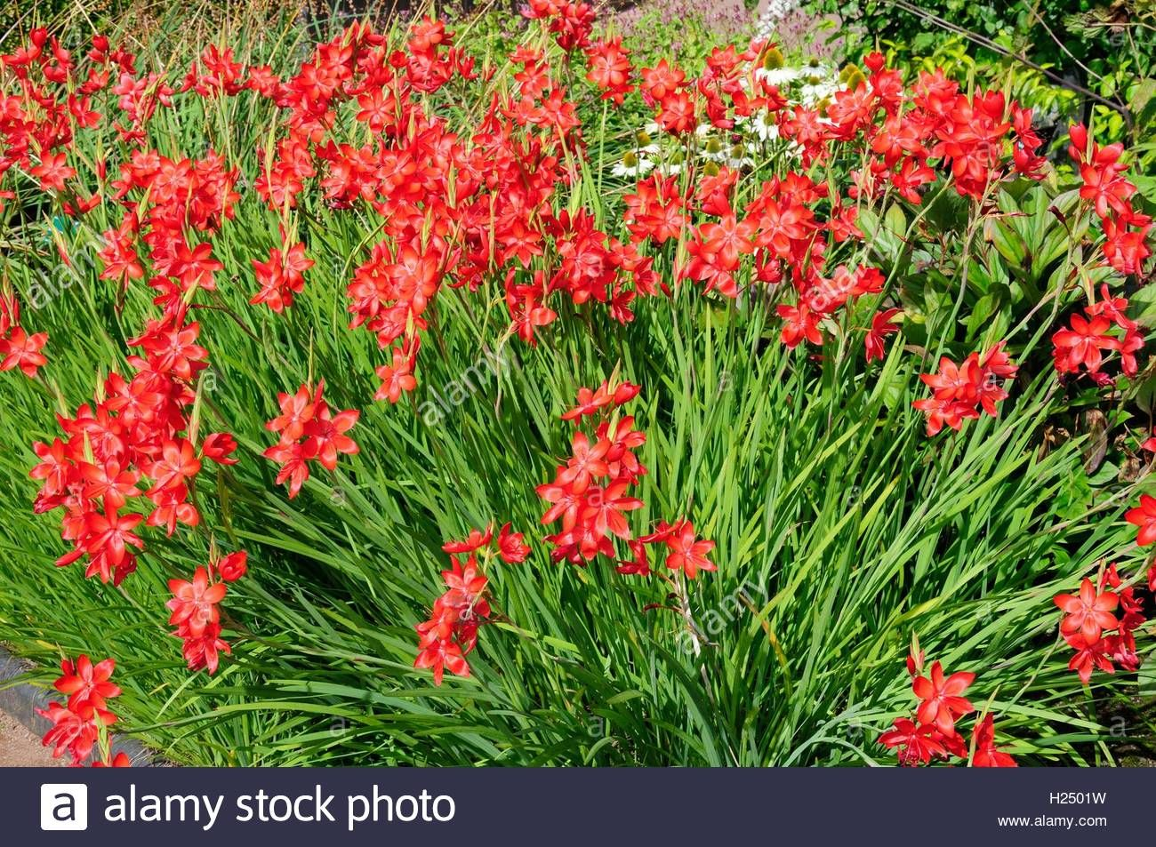 Hesperantha Coccinea Major Crimson Flag Lily Stock Photo Rain