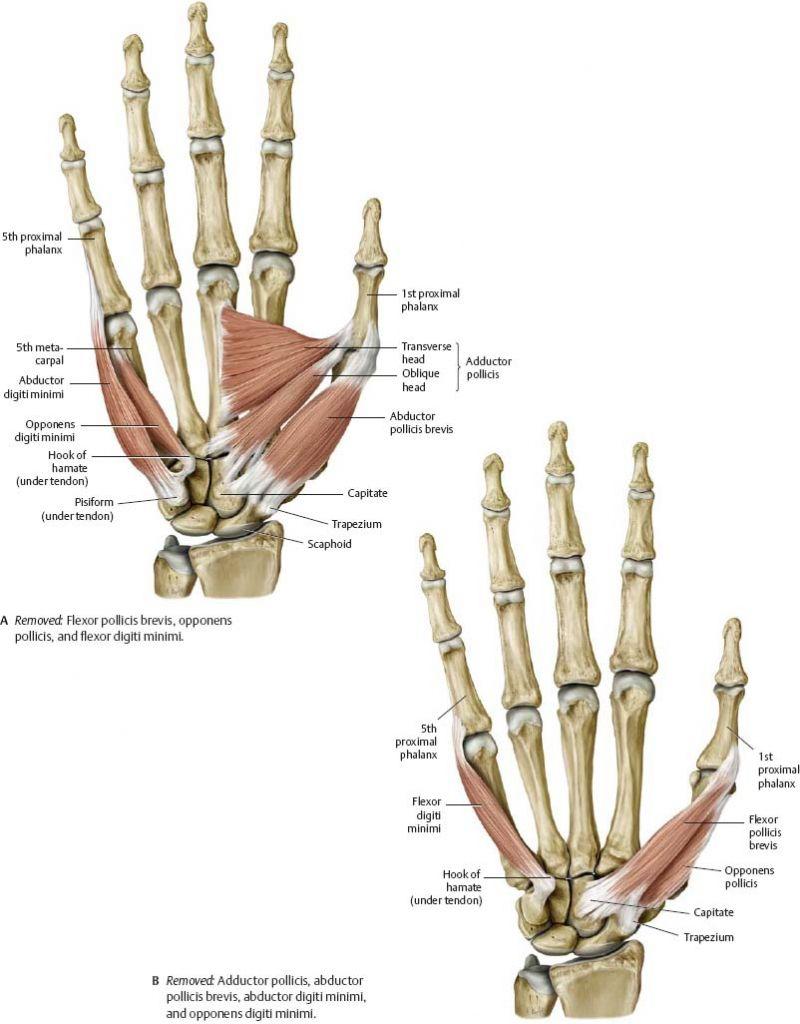 Anatomy Of A Wrist Gallery - Learn Human Anatomy Image   Hand ...
