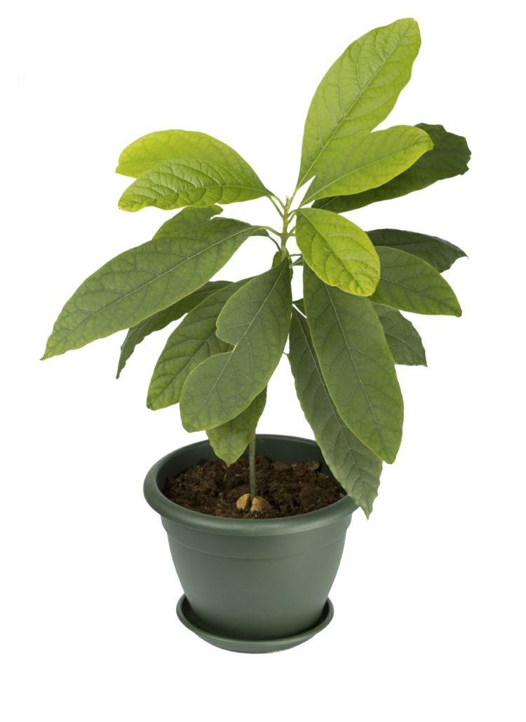 exotische-wohnzimmer-zimmerpflanzen-avocado-gesund-fruechte - pflanzen für wohnzimmer