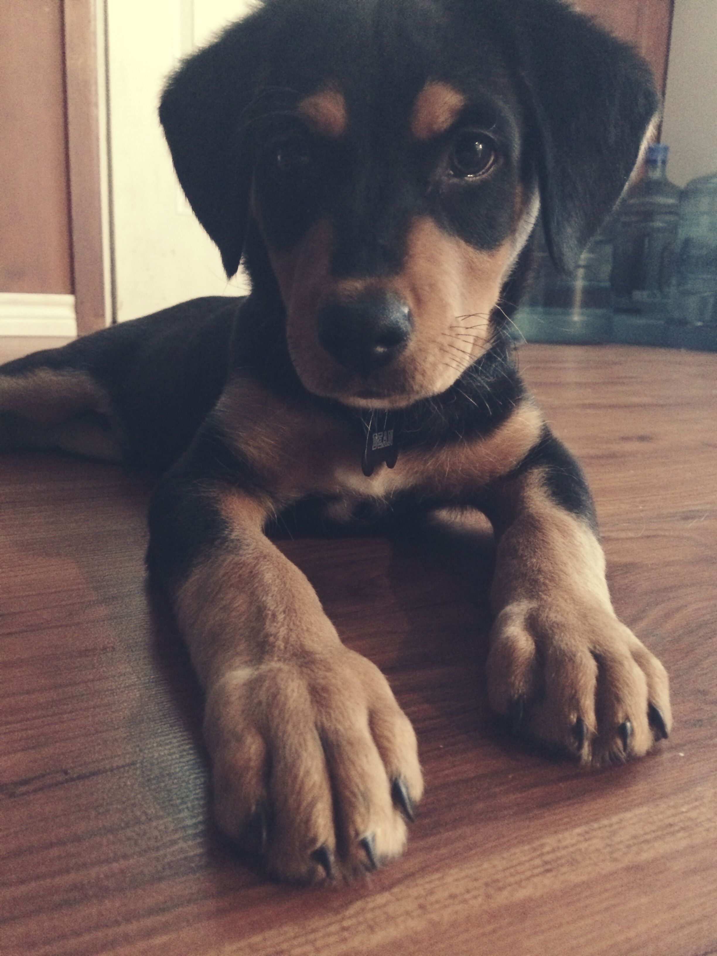 This Is My Rottweiler Lab Mix Dean And He S Prettier Than You Lab Mix Puppies Rottweiler Lab Mixes Rottweiler Mix Puppies