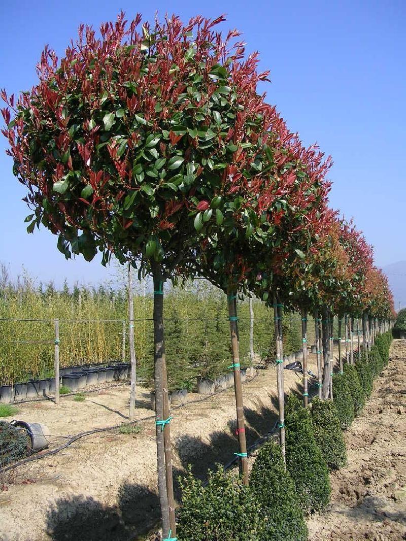 Arbre Persistant En Pot beautiful arbre a feuille persistant #1: arbres à feuillage