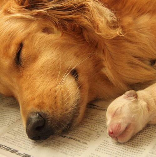 Golden Retriever Mother Sleeping With Her Baby Puppy By Her Side