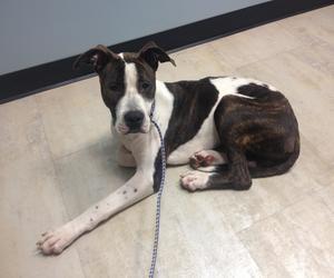 Adopt Doug On Great Dane Dogs Dogs Animals