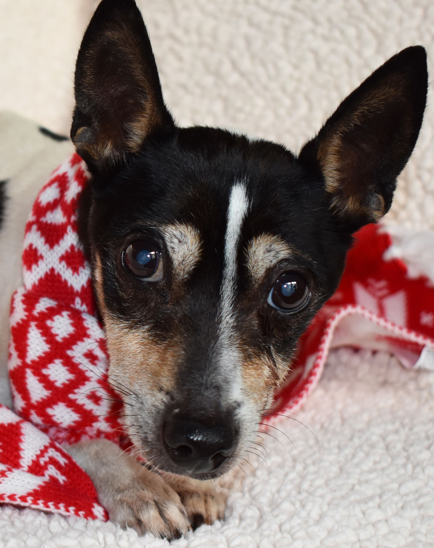 Rat Terrier dog for Adoption in Nashville, IN. ADN739745