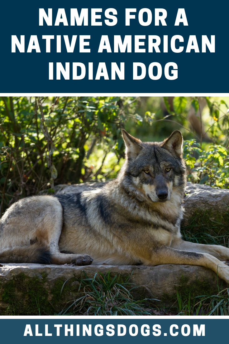 While You Wouldn T Be The First Person To Mistake This Dog For A Wolf It Shouldn T Stop You With Images American Indian Dog Native American Indian Dog Native American Dog