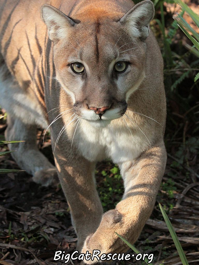 Cougars have a long body with a small head, short face, and a long neck and tail. They are powerfully built, and the hind legs are larger than the front. The ears are small, short and rounded.