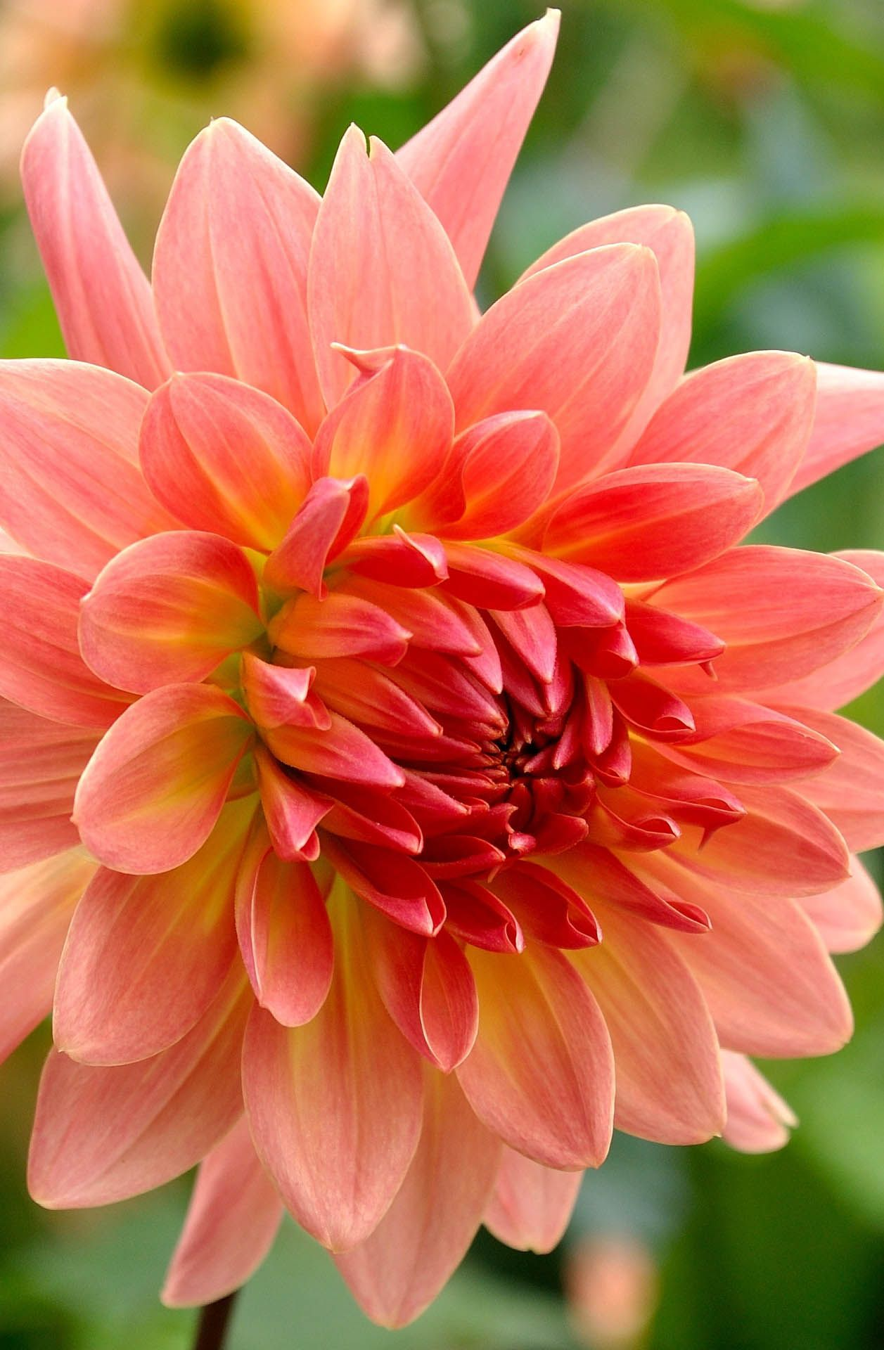 The 35 best flower photos flowers pinterest flowers flower dahlia flower photo 35 best flower photos izmirmasajfo