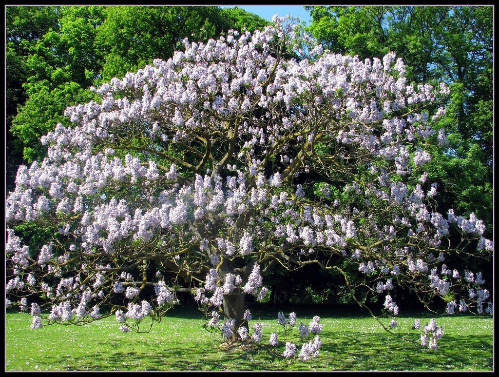 Piantare Alberi Di Paulonia paulownia tomentosa - empress tree | fast growing trees