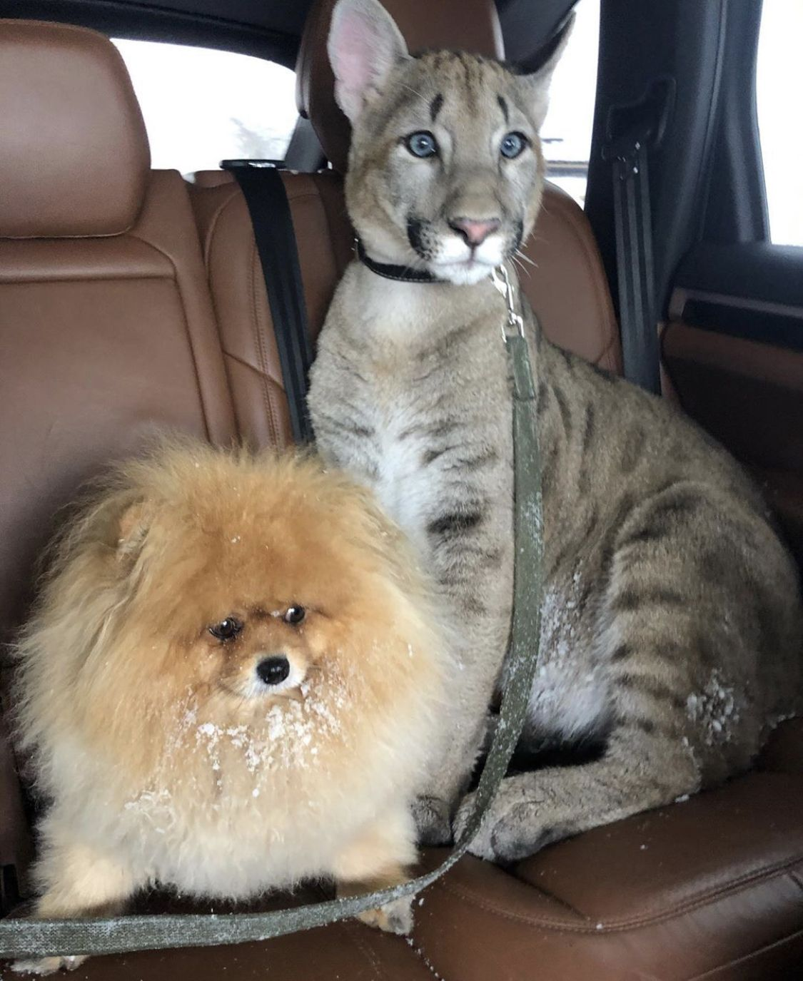 Pin By Sally Jean On Here Kitty Kitty In 2020 Savannah Cat Savannah Kitten Savannah Cat Breeders