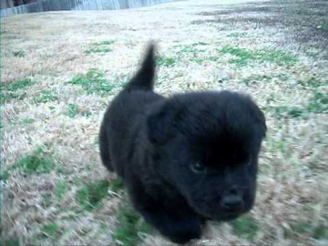 Chow Chow Mix With Labrador...looks just like Mr. Luke did...miss that puppy...