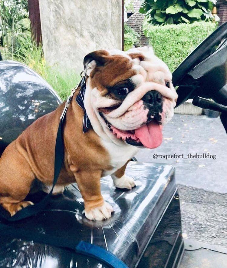 Pin By Triniti Daniels On Bulldogs Bulldog Puppies Cute Animals Bull Dog Stuff