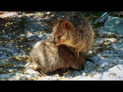 This Is The Australian Quokka The Happiest Animal On Earth 1 2 3 Or 4 Which One Is Your Cute Animal Pictures Happy Animals Cute Animals