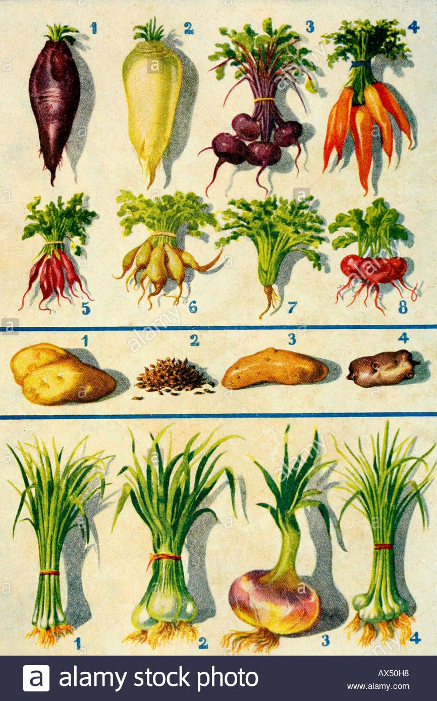 Image Result For Root Vegetable Images Root Vegetables