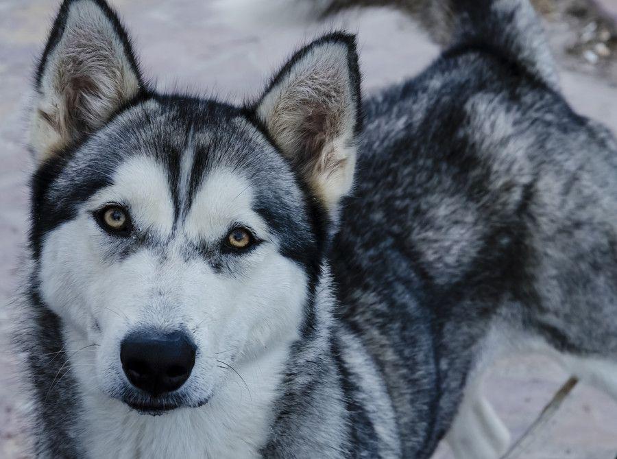 Untitled By Slavica Koceva On 500px Husky Dogs Wolf Husky