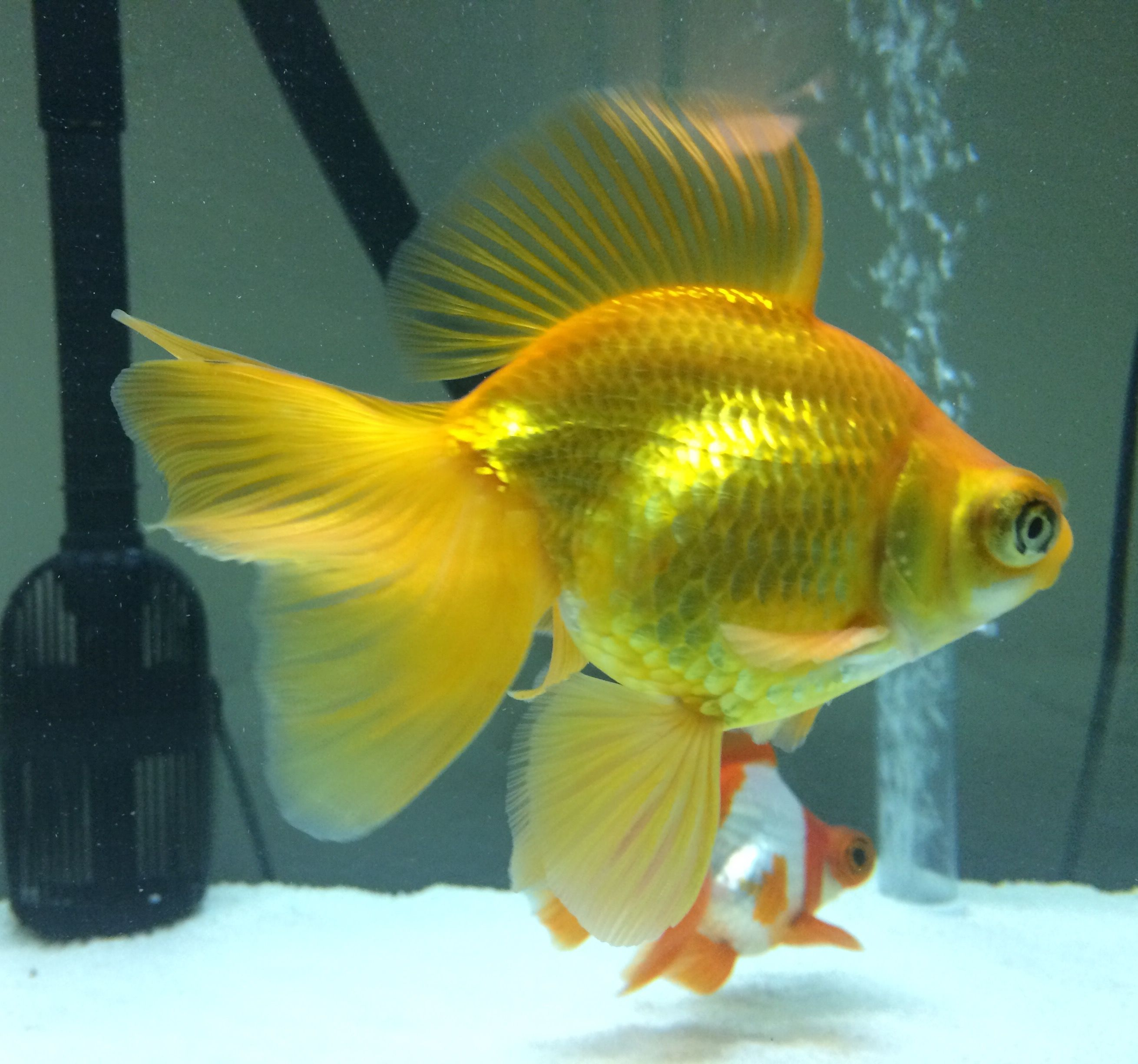 Imperial Yellow Butterfly Telescope Goldfish Aquarium Goldfish Goldfish Pond