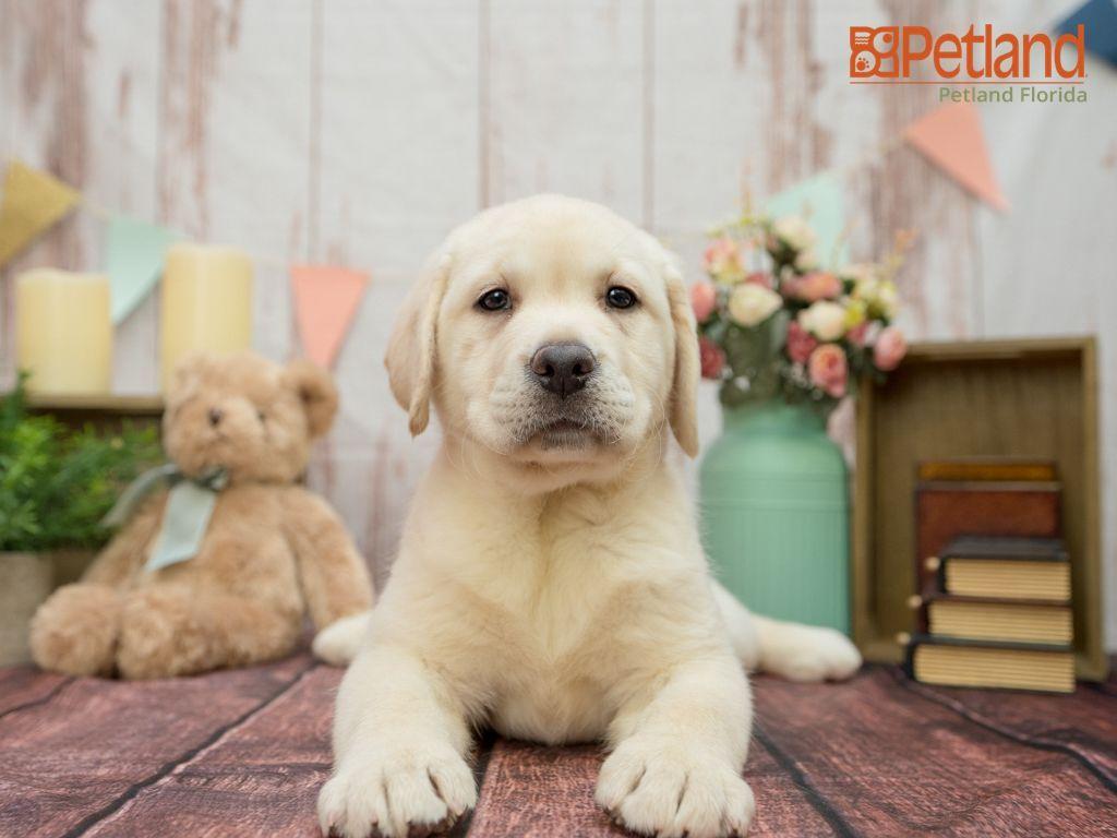 Puppies For Sale Labrador Retriever Puppies Retriever Puppy
