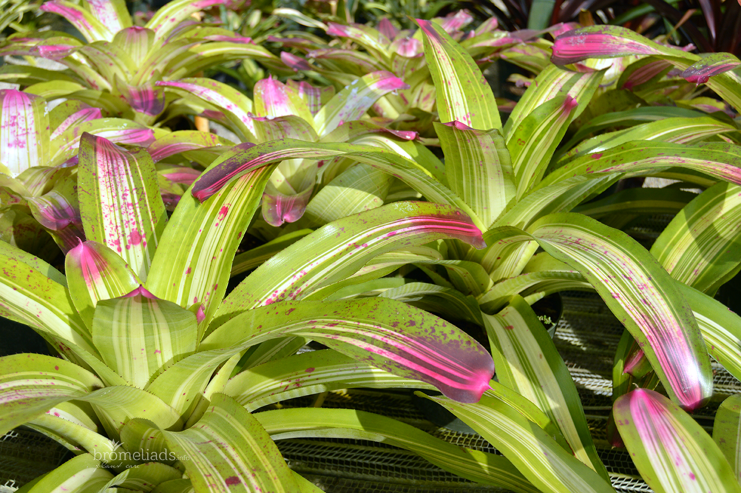 Bromeliad Foliage With Pink Tips Sunshine Bromeliads In Florida