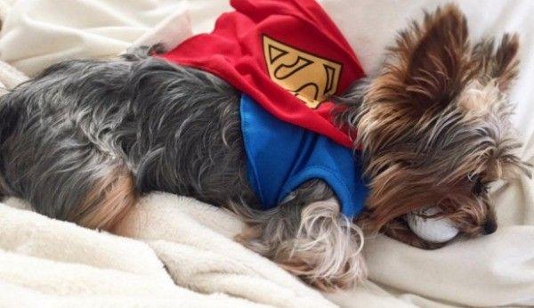 Super Yorkie